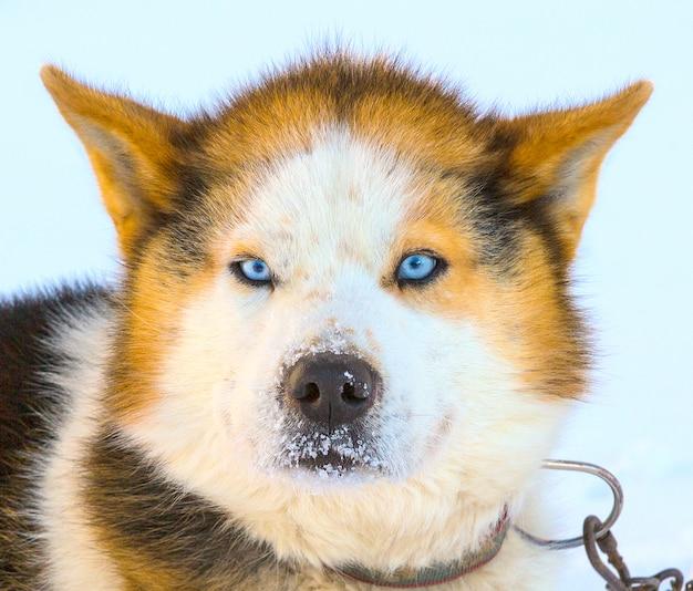Head malamute schlittenhunde