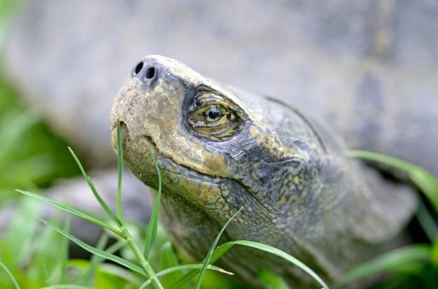 Headed schildkröte