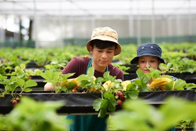 Headshot von zwei gärtnern, die erdbeeren in einem gewächshaus ernten