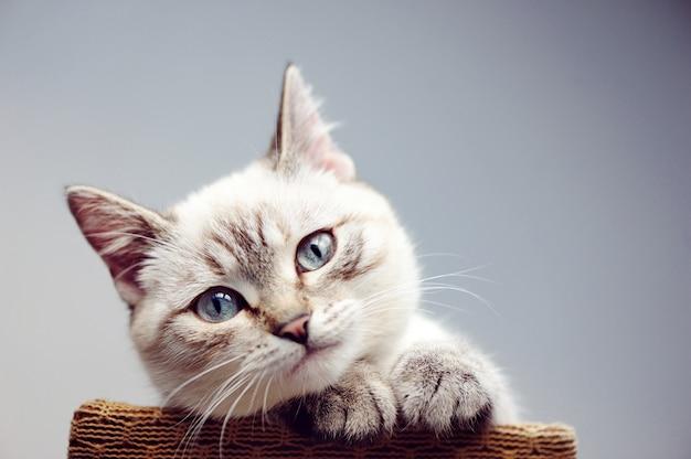 Headshotnahaufnahmeporträt einer katze