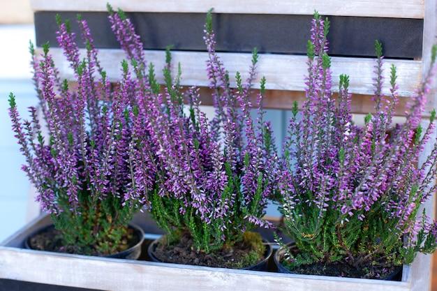 Heather vulgaris blüte von kleinen rosa blumen im korb auf verande. blühende heide calluna vulgaris im topf, blumenladen.