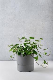 Hedera helix, efeupflanze in einem betontopf auf grauem hintergrund. haus- und gartenkonzept. schöner immergrüner efeu.