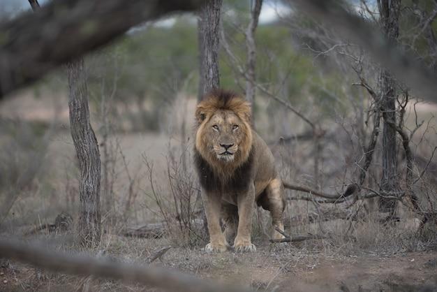 Heftig aussehender männlicher löwe mit einem unscharfen hintergrund