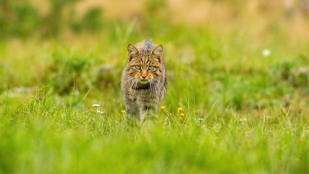 Heftige europäische wildkatzenjagd auf einer sommerwiese in der natur mit kopienraum.