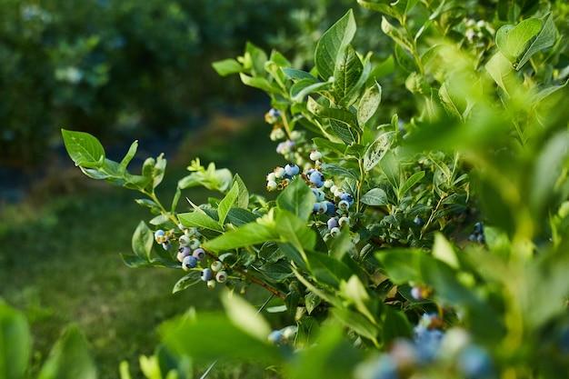 Heidelbeerbusch bei sonnenuntergang, bio reif mit saftigen beeren, nur bereit zu pflücken