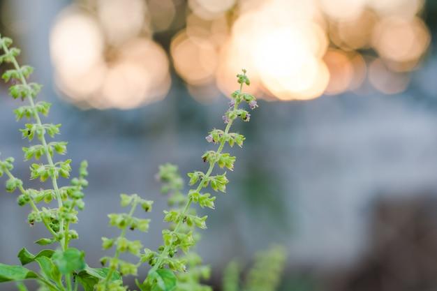 Heiliges basilikum blumengrün