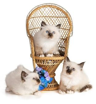 Heiliges kätzchen von burma mit einem korbstuhl mit blumen auf weißem hintergrund