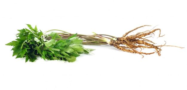 Heilpflanzeginseng lokalisiert auf weiß.