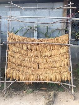 Heilung von burley-tabak. tabakblätter trocknen. tabakblätter zur natürlichen inkubation von tabakblättern. schnappschüsse mit dem smartphone aufgenommen.