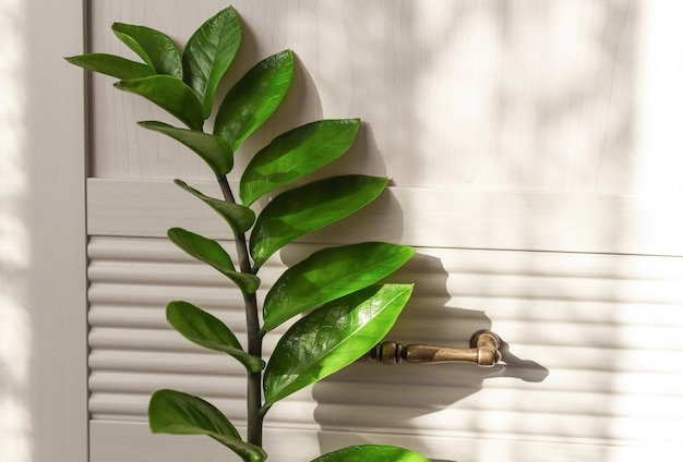 Heimpflanze auf dem hintergrund einer holzwand mit schönen sonnenstrahlen zamiokulkas zweignahaufnahme