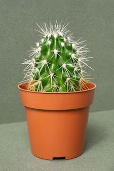 Heimpflanzen. kaktus in den braunen töpfen auf einem grünen hintergrund. nahaufnahme, vorderansicht.