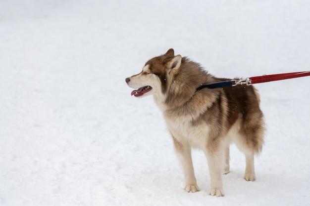 Heiserer hund auf leine, schneebedeckter hintergrund des minimalen winters. pet zu fuß vor dem schlittenhundetraining.