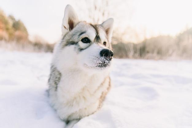 Heiserer hund auf schneebedecktem feld im winterwald. rassehund, der auf dem schnee liegt