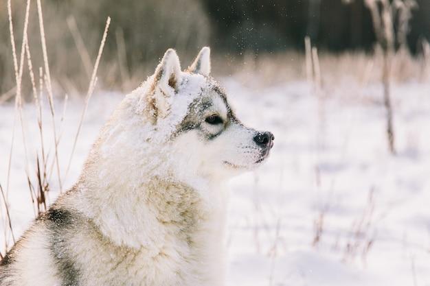 Heiserer hund auf schneebedecktem feld im winterwald. rassehund