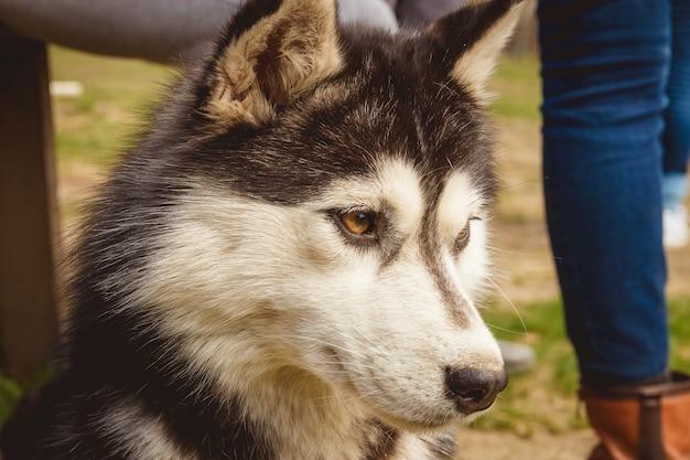 Heiserer schwarzweiss-hund des porträts im hintergrund des grünen grases