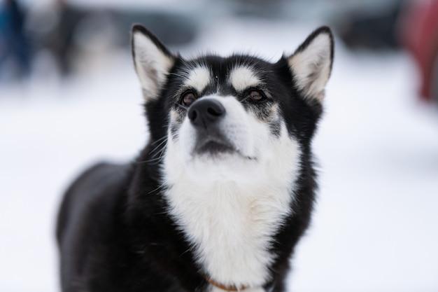 Heiseres hundeporträt im schneebedeckten hintergrund des winters