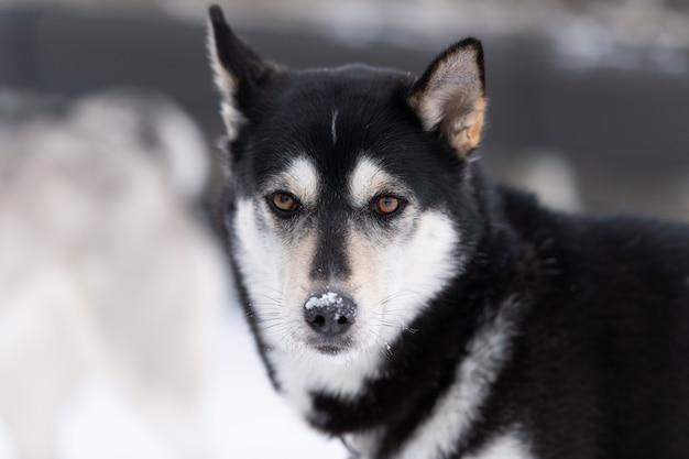 Heiseres hundeporträt, schneebedeckter hintergrund des winters. lustiges haustier auf dem gehen vor schlittenhundetraining.
