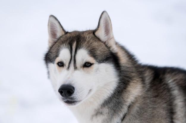 Heiseres hundeporträt, winter schneebedeckt. lustiges haustier auf dem gehen vor schlittenhundetraining.