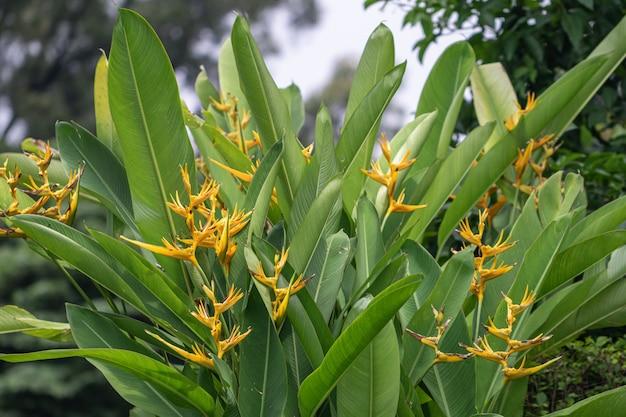 Heliconia ist eine gattung von blütenpflanzen aus der familie der heliconiaceae. gebräuchliche namen für die gattung sind hummerkrallen, tukangipfel, wilde kochbananen oder falsche paradiesvögel.