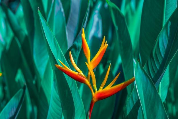 Heliconia psittacorum oder heliconia goldene fackel oder falsche paradiesvogel blume.
