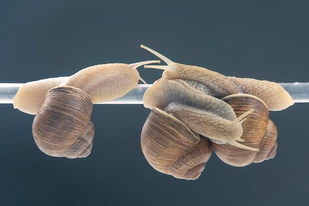 Helix pomatia. schnecken hängen an einem plastikrohr.