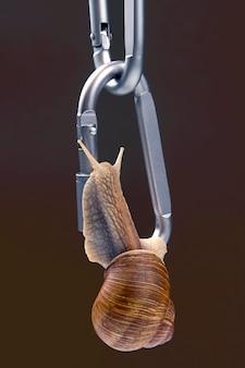 Helix pomatia. schnecken halten sich gegenseitig an metallkarabinern zum sichern fest.
