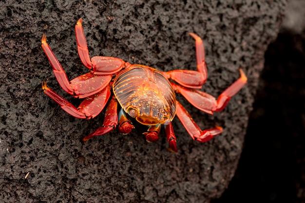 Hell farbige krabbe sally lightfoot (grapsus grapsus) auf felsigem strand, punta espinoza, galapagos-inseln, ecuador