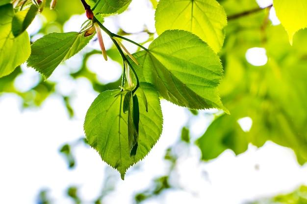 Hell junge grüne blätter der linde gegen das licht auf einem licht