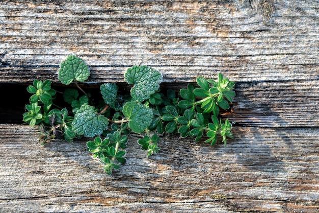 Hell verblasste braune und kühle blau wiedergewonnene kiefernholzoberfläche mit gealterten brettern und freesh grünen pflanzen.