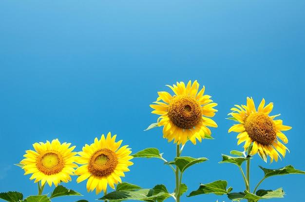 Hell vom sonnenblumenfeld mit blauem himmel, sonnenblume beim blühen