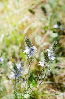 Hellblaue kleine blumen, die in der wiese blühen.