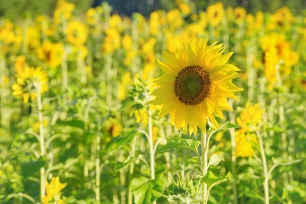 Helle blume einer sonnenblume auf einem hintergrundfeld mit gelben blumen