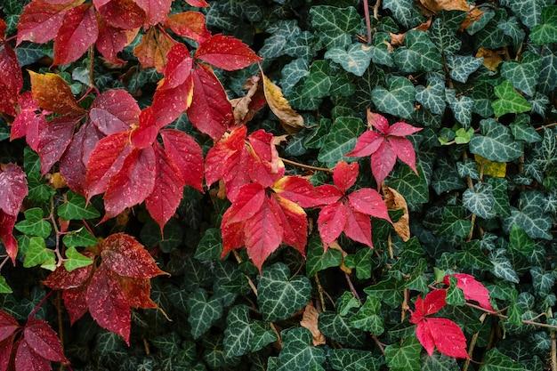 Helle burgunder- und grünblätter an der hauswand, landschaftsgestaltung. herbst hintergründe. jungferntrauben oder parthenocissus quinquefolia, hintergrund mit platz für text.