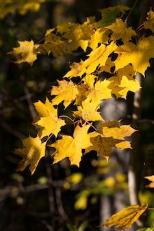 Helle gelbe ahornzweige an einem sonnigen tag im wald im oktober