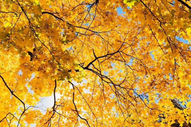 Helle gelbe blätter des ahornbaums auf hintergrund des blauen himmels. schöner gelber baum im park