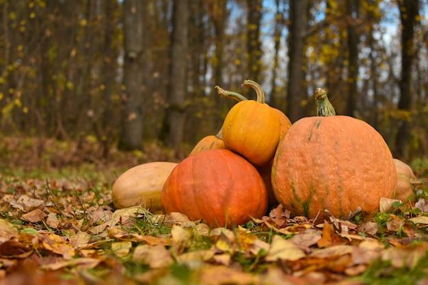 Helle gelbe kürbise liegen auf dem herbstlaub im wald, halloween