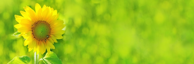Helle gelbe sonnenblume auf unscharfem grünem feld