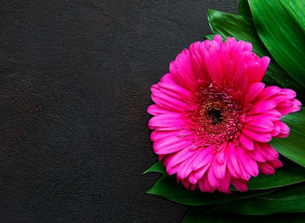Helle gerberablume auf schwarzem beton, draufsicht
