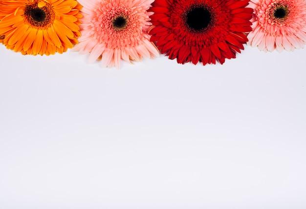 Helle gerberablumen angeordnet auf weißem hintergrund