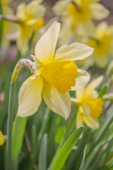 Helle lebendige gelbe narzissenblumen, die auf sonnenbeschienenen gegen himmel blühen