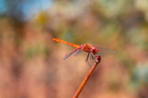 Helle libelle mit flügeln mit rotem muster sitzt auf einem ast auf grünem hintergrund, sommerinsekten