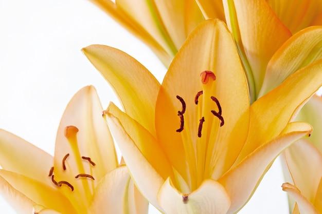 Helle lilienblume aus nächster nähe fotografiert