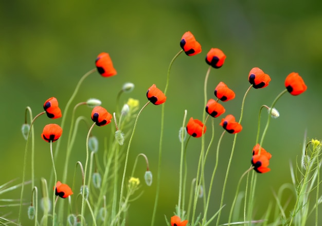 Helle rote mohnblumen