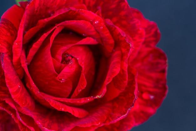 Helle scharlachrote rose auf marineblauem hintergrundraum für textkopierraum