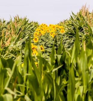 Helle sonnenblume mit gelben blütenblättern auf einem landwirtschaftlichen feld von sonnenblumenblütenständen, die zusammen mit mais im sommer zwei landwirtschaftliche ernten zusammen wachsen