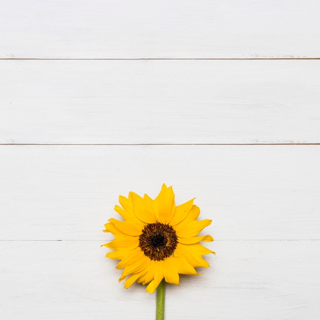 Helle sonnenblume mit großem gelbem üppigem kopf