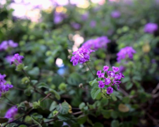 Heller lila blumengarten mit verschwommenem bokeh-lichter textur abstrakten hintergrund.