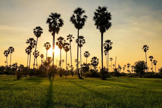 Heller schatten durch sonnenuntergang durch zuckerpalmen zu reisfeld in pathum thani, thailand. landwirtschaftsindustrie im warmen tropischen land. schöne natürliche reiselandschaft.