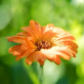 Heller sommerhintergrund mit wachsender einzelblumen-ringelblume, einem marigol