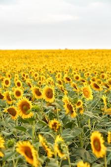 Helles sonnenblumenfeld während eines sommertages